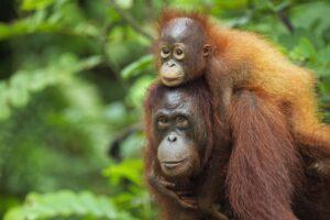 orangutan-GettyImages-107246950-58fe92e35f9b581d592f8a4f