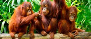 orangutan-img-banner-orangutan-family-borneo-one-off-1400x600